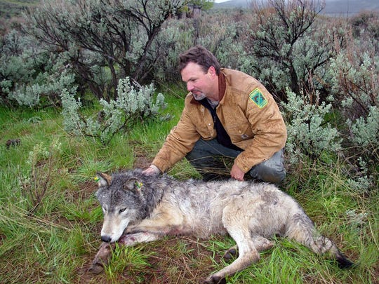 Russ Morgan, ODFW wolf coordinator, waits while a wolf recovers from anesthesia during a radio-collaring effort.