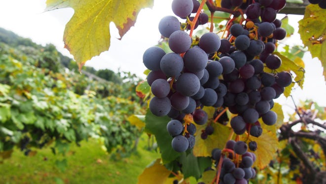 The grapes at H. Horner Vineyard are almost ready to be harvested. The public will be welcome to come and pick this month.