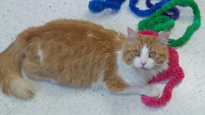 Dingo is a 5-year-old orange-and-white boy who came into the shelter in a trap, but what a sweetheart he is! We don't have any information on his background, but because of his long hair, he'll need pretty consistent brushing to keep the mats at bay. This gorgeous guy needs a forever home.