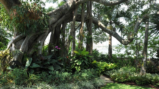 The northern section of the lofty Ficus altissima tree in Kit Pannill's garden provides a canopy for the shade garden beneath it. The tree was split in half by a storm before Pannill bought the property.