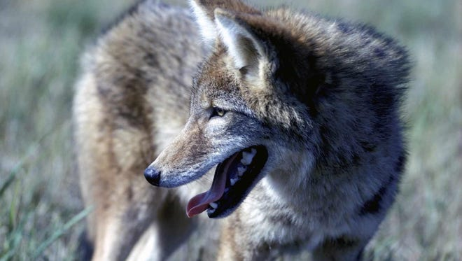 Coyote close-up.