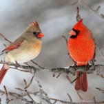 Northern Cardinals are well known for sharing food, where a male may bring a morsel to the female, which shows her that he can not only find food but is willing to share it.