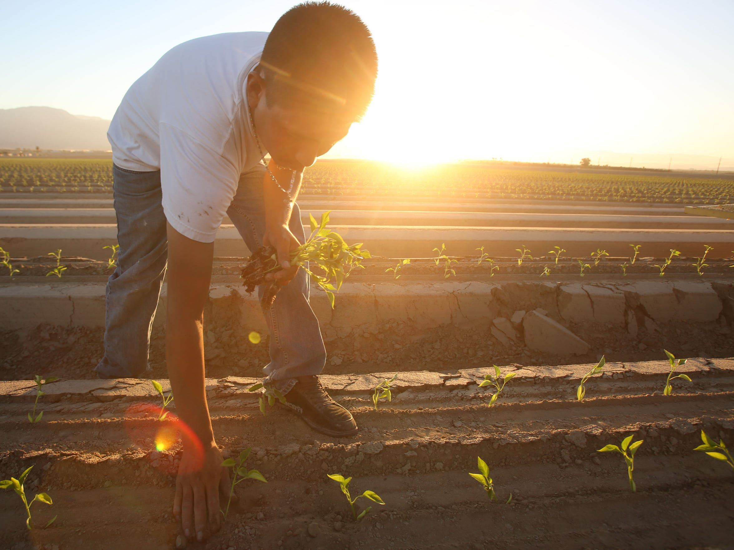 A farmworker plants bell peppers in a Coachella Valley