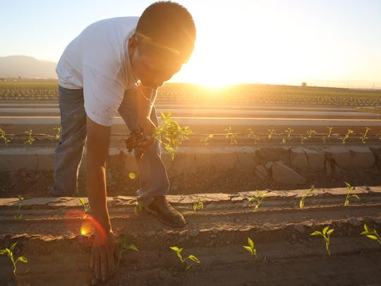 A farmworker plants bell peppers in a Coachella Valley field as the sun sets on a July day. At this time of year and day, temperatures tend to hover around 107 degrees.