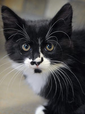 Cuddles is a 4-month-old, black and white, female kitten. She is cute and affectionate and is available for adoption at the Wichita Falls Animal Services Center.