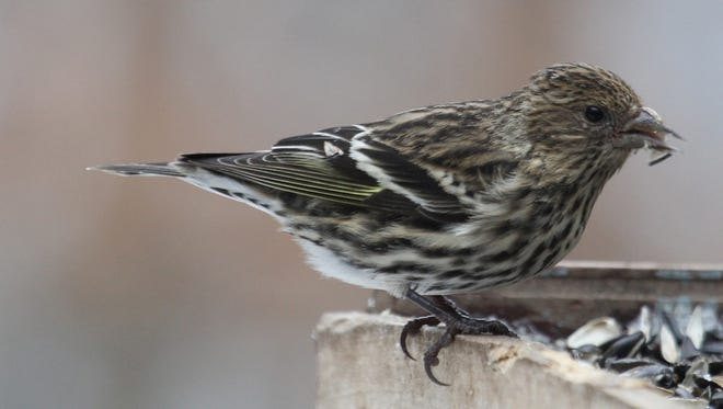 Pine siskins might be a regular winter visitor to your feeders this year!