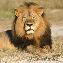 Zimbabwe seeks to extradite Cecil the lion's killer