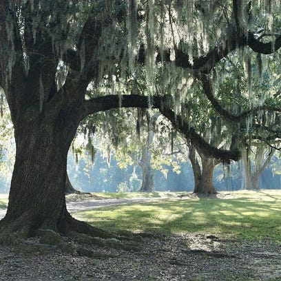 A tree draped in Spanish moss is a familiar and beautiful site around this city.