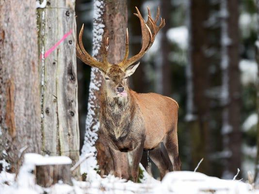Game enclosure in Messstetten - elk