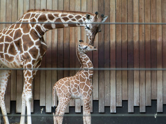 Marlee, a six year old giraffe, nestles her newborn calf inside the giraffe exhibit at the Milwaukee County Zoo.
