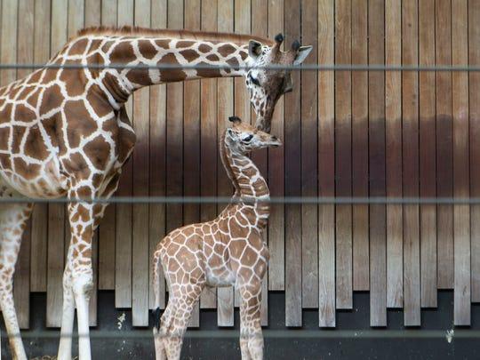 Marlee, a six year old giraffe, nestles her newborn