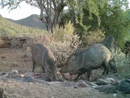 Two javelinas visit the watering hole at Cave Creek