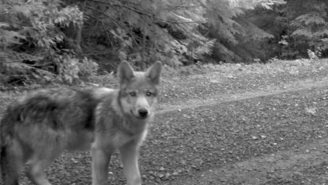 This July 12, 2014 image released by the U.S. Fish and Wildlife Service, shows what is believed to be a pup of OR-7.