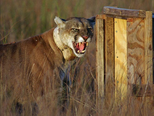 This adult male Florida panther growled as he left
