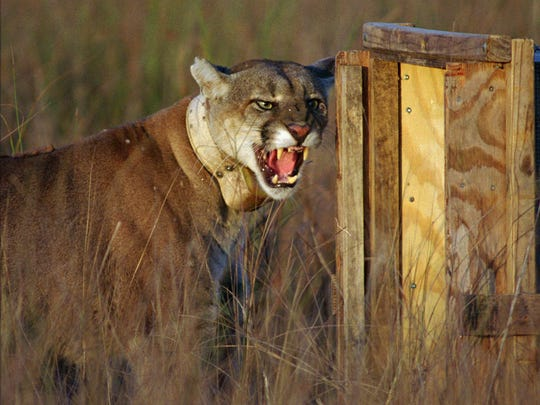 This adult male Florida panther growled as he left his shipping container to enter his new home at Big Cypress National Preserve.