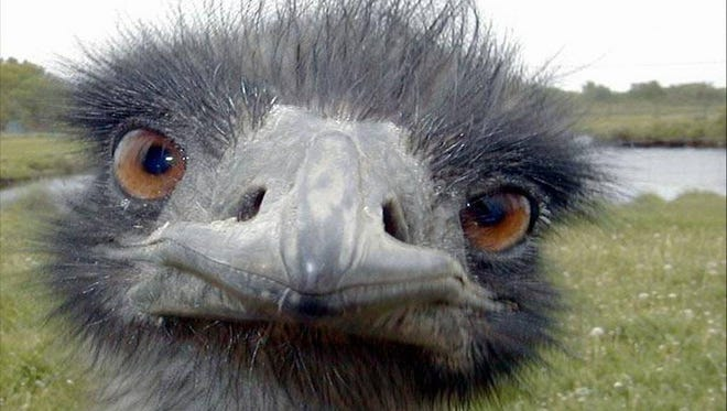Mugging for the camera, that's how ostriches do.