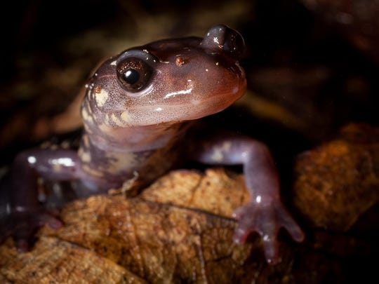 A Cow Knob salamander ventures out at night along Reddish Knob in Augusta County.