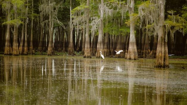 Cypress Tupelo Forest in the Atchafalaya Basin.