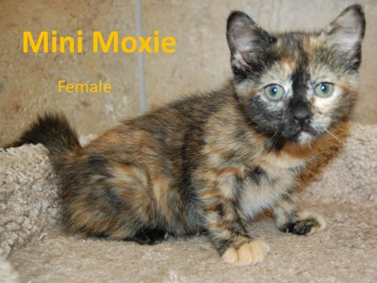 Mini Moxie is a female kitten available at the city
