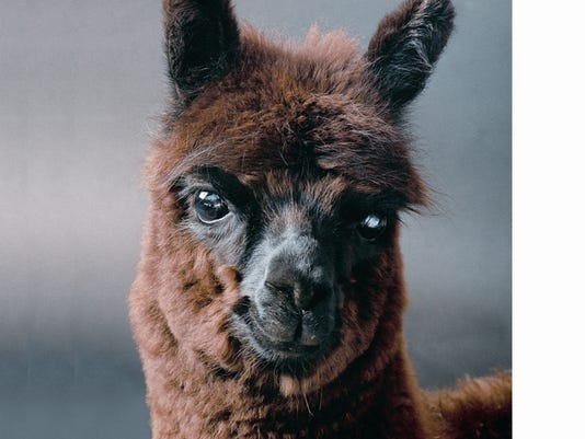 brown-alpaca-.jpg