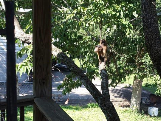 """A pet monkey possibly named """"Pretty Boy Floyd"""" is on"""