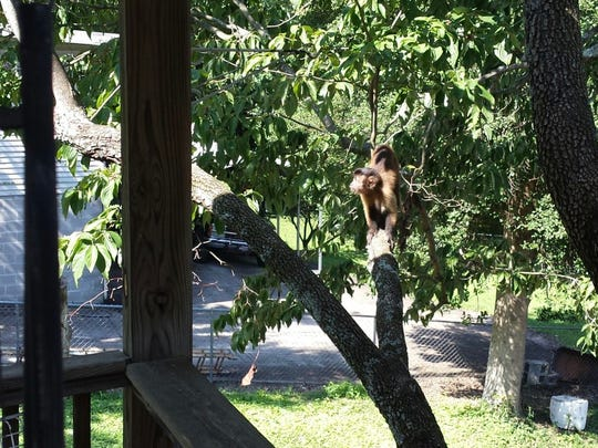 "A pet monkey possibly named ""Pretty Boy Floyd"" is on the loose in North Knoxville. Ron Merritt shot this photo of the monkey when it appeared on his deck on the morning of Monday, August 21."