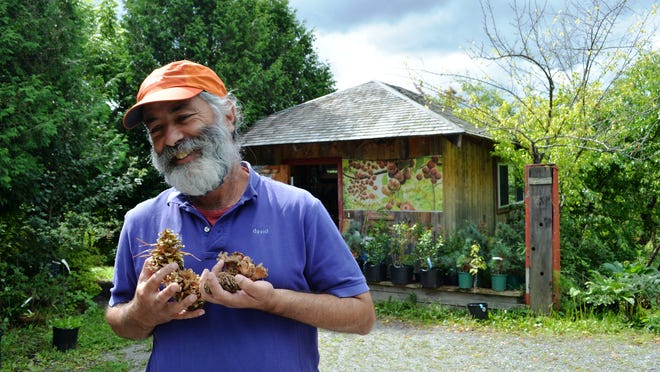 David Fried, 56, of Montpelier with a variety of nuts at Elmore Roots Nursery in Elmore on Sept. 3.
