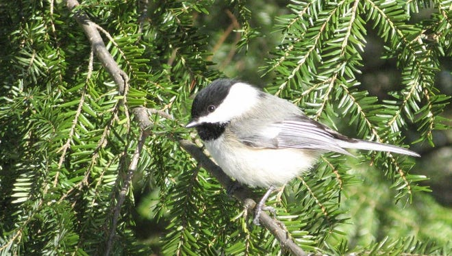 "Despite the gray days and long sighs of November, Lois Nestel wrote that ""courage and cheer are exemplified in the sprightly chickadee, who finds joy in just being alive."""