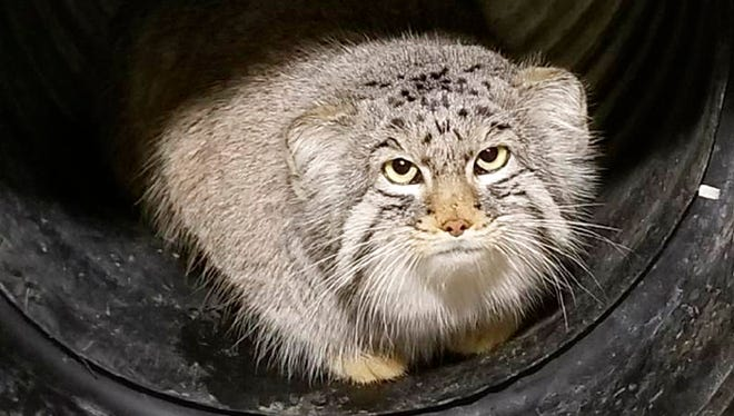 This undated photo, provided by the Hogle Zoo in Salt Lake City shows Mushu, a 10 month-old Pallas' Cat. The small mountain cat is on the loose at the Salt Lake City zoo on Monday, Jan. 29, 2018, marking the second animal escape there in less than two years. The cat isn't dangerous and is believed to still be inside zoo grounds.
