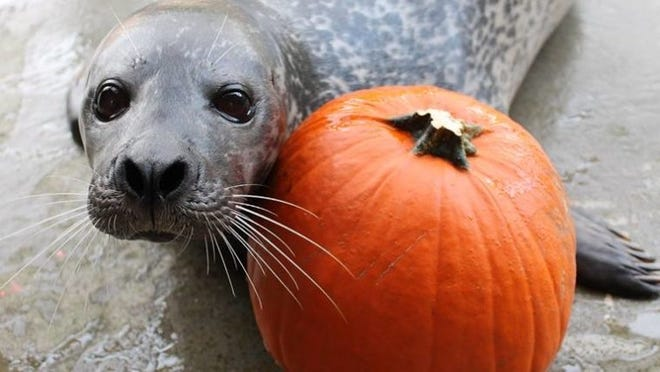 BPZOO's Harbor Seal, Blue, poses with a pumpkin, as the Zoo preps for the annual Boo at the Zoo Halloween event.