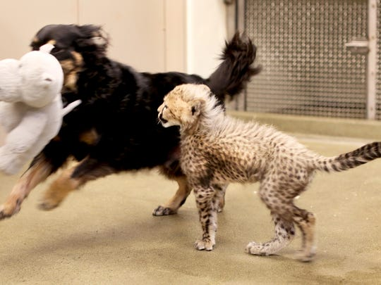 Donni plays with Blakely, an Australian shepherd at