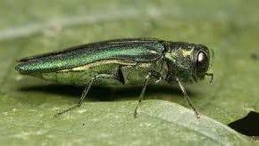 A larval specimen of the emerald ash borer.