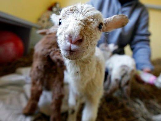 Muncie animal rescue takes lambs goat from farm - Muncie craigslist farm and garden ...