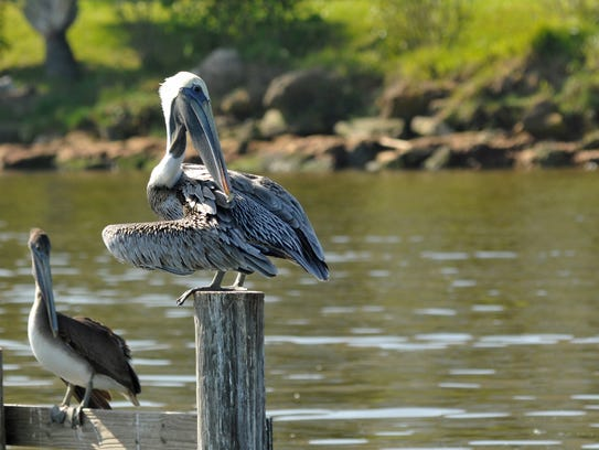 A pelican grooms its feathers at Turkey Creek in Palm