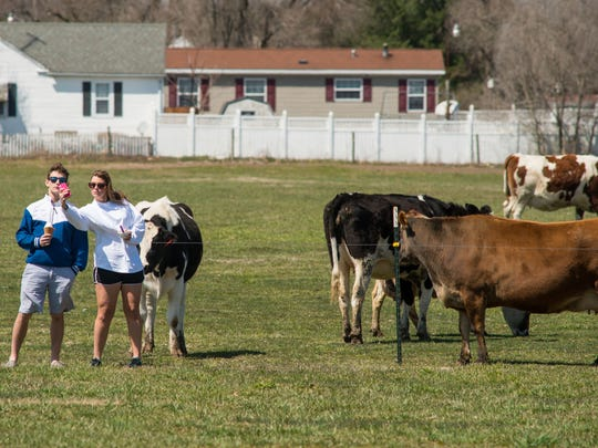 Vanderwende Ice Cream customers take a selfie with the dairy cows in the background at the Bridgeville farm.