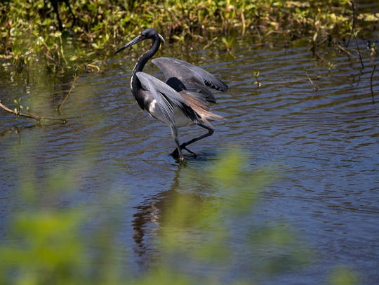 A tricolored heron wades in Billy's Creek on Tuesday,