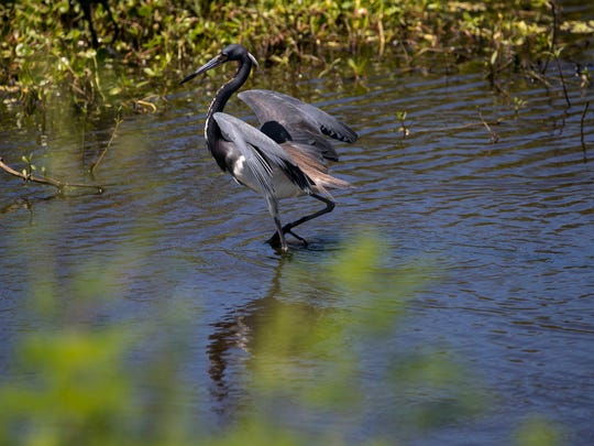 A tricolored heron wades in Billy's Creek on Tuesday, April 17, 2018.