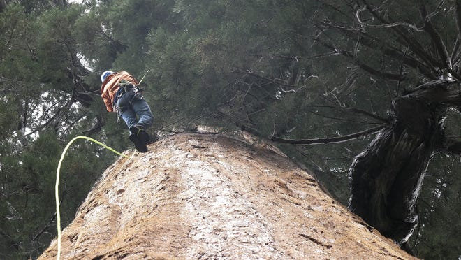 Arborist Jim Clark inches up a giant sequoia to collect new growth from its canopy in the southern Sierra Nevada near Camp Nelson, Calif. Clark volunteers with Archangel Ancient Tree Archives, a nonprofit group that collects genetic samples from ancient trees and clones them in a lab to be planted in the forest. The group believes the giant sequoias and costal redwoods are blessed with some of the heartiest genetics of any trees on earth and that propagating them will help reverse climate change.