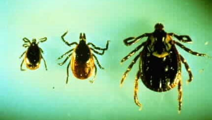 The tick on the left is an adult male deer tick, which is dark in color. In the middle is the adult female, which is red and dark brown. On the right is an adult female wood tick.