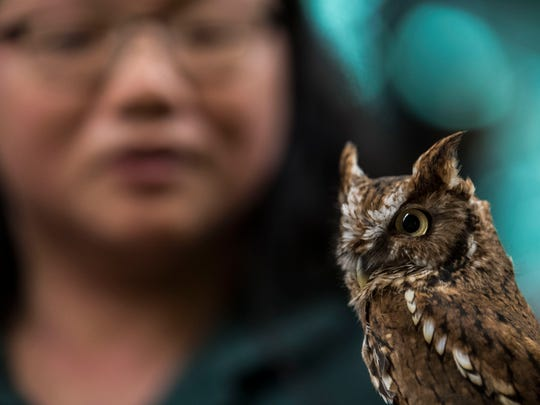 "Elaine Kung holds up a screech owl named Gizmo as she educates people about nocturnal animals during the ""Creatures of the Night,"" program held at the Harvest Festival in Wesselman Nature Society in Evansville, Ind., Saturday, Sept. 30, 2017. The program allowed attendees to get a closer look at a tiger salamander, Madagascar hissing cockroaches, a bull snake, a corn snake, an alligator snapping turtle, screech owls and a barn owl."