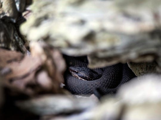 A Cottonmouth snake is curled up in a den underneath limestone rocks found along Snake Road in LaRue-Pine Hills Research Natural Area inside Shawnee National Forest in Wolf Lake, Ill., Tuesday, Oct. 3, 2017. These snakes spend the fall season looking for warm, safe places to hibernate during the upcoming winter months.