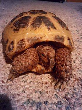 Buddy, a Russian tortoise, was taken from her enclosure at a Wisconsin Rapids home, according to police.