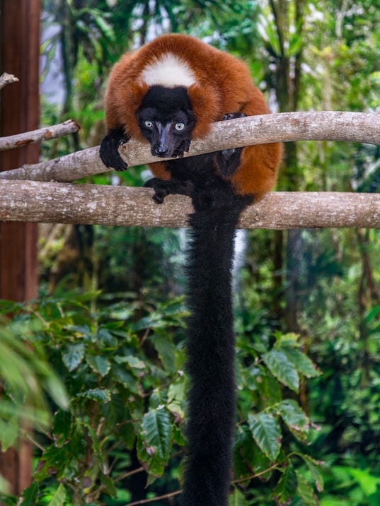 Endangered Red Ruffed Lemurs Debut At Naples Zoo On Saturday
