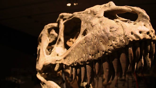 The Terataphoneus curriei, or monster murderer, is among the specimens on display at the Colburn on Saturday.