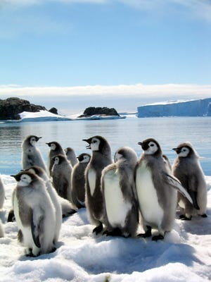 """A scene from the motion picture """"March of the Penguins."""" Nature Video selected penguins as one of the cutest animals in science in 2014."""