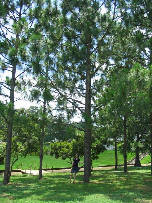 pines-768x1024.jpg