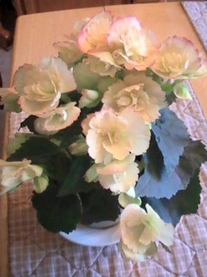 """Beth Ney of Dover Township submitted this photo May 18. Ney writes, """"A pretty yellow begonia plant with a touch of pink on the edge of the petals."""""""