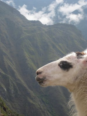 "Zona Reiss of Spring Garden Township submitted this photo. Reiss writes, ""Llama Baby, This is my favorite picture taken on the Inca Trail in Machu Picchu. The llamas live there."""