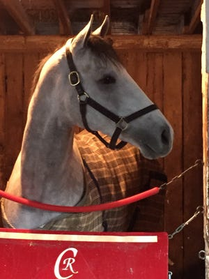 Conquest Big E in his stall Sunday at Palm Meadows.