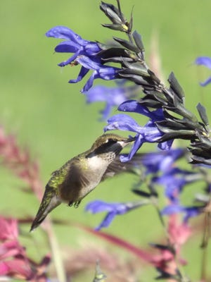 Syncing with nature is one of the biggest garden trends for 2016 as gardening and nature combine right in the backyard. Growing a hummingbird garden is a wonderful way to sync your love and passion for wildlife and gardening at home.